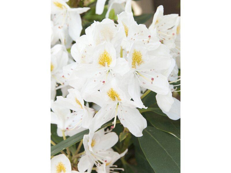 Rhododendron madame masson wei h he ca 40 50 cm topf - Masson gartenmobel ...