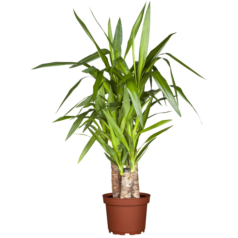 Palmlilie 3er Stamm Topf ø Ca 24 Cm Yucca Elephantipes Kaufen Bei Obi