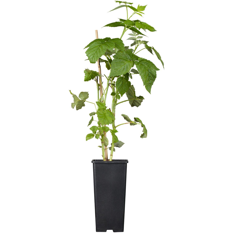 Himbeere Black Jewel Schwarzrot Höhe ca. 20 - 30 cm Topf ca. 2 l Rubus
