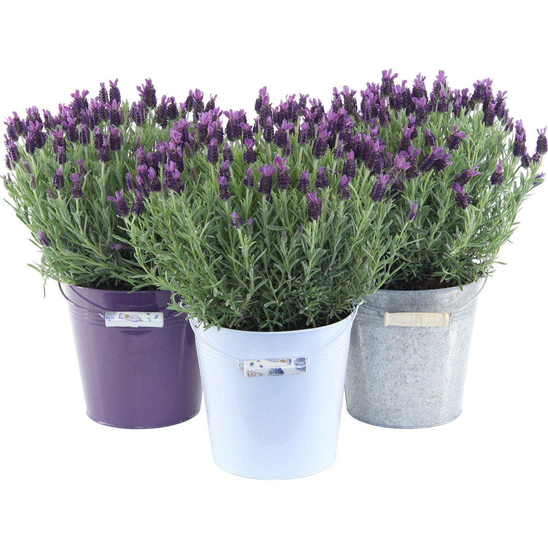 Obi Lavendel Anouk Ohne übertopf Topf ø Ca 19 Cm Lavandula