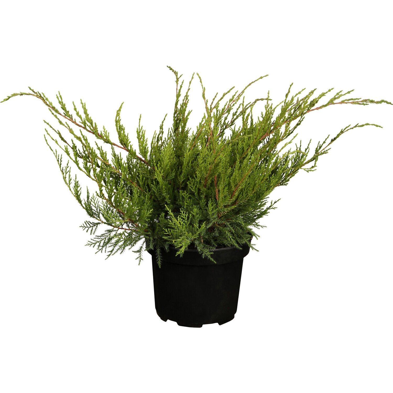 OBI Strauch-Wacholder Mint Julep Höhe ca. 5 - 10 cm Topf ca. 2 l Juniperus