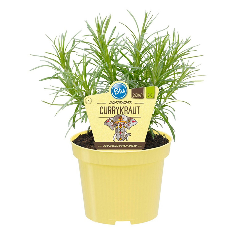 Blu Bio-Currykraut Topf-Ø ca. 12 cm Helichrysum