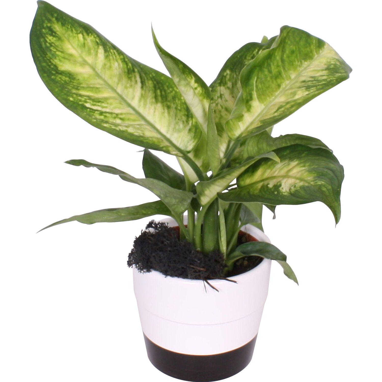 arrangement gr npflanzen in schwarz wei keramiken topf ca 11 cm kaufen bei obi. Black Bedroom Furniture Sets. Home Design Ideas