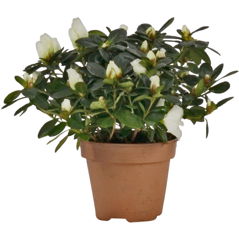 zimmer azalee wei topf ca 13 cm azalea rhododendron kaufen bei obi. Black Bedroom Furniture Sets. Home Design Ideas