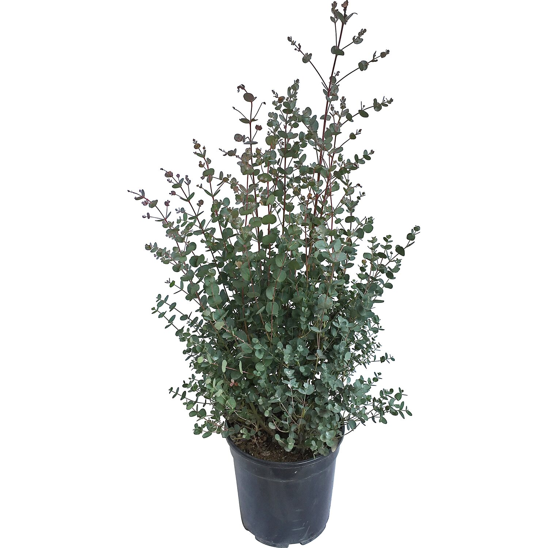 obi eukalyptus h he ca 30 cm topf ca 5 l eucalyptus gunnii kaufen bei obi