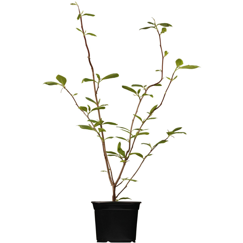 obi tulpen magnolie rosa h he ca 60 80 cm topf ca 5 l. Black Bedroom Furniture Sets. Home Design Ideas