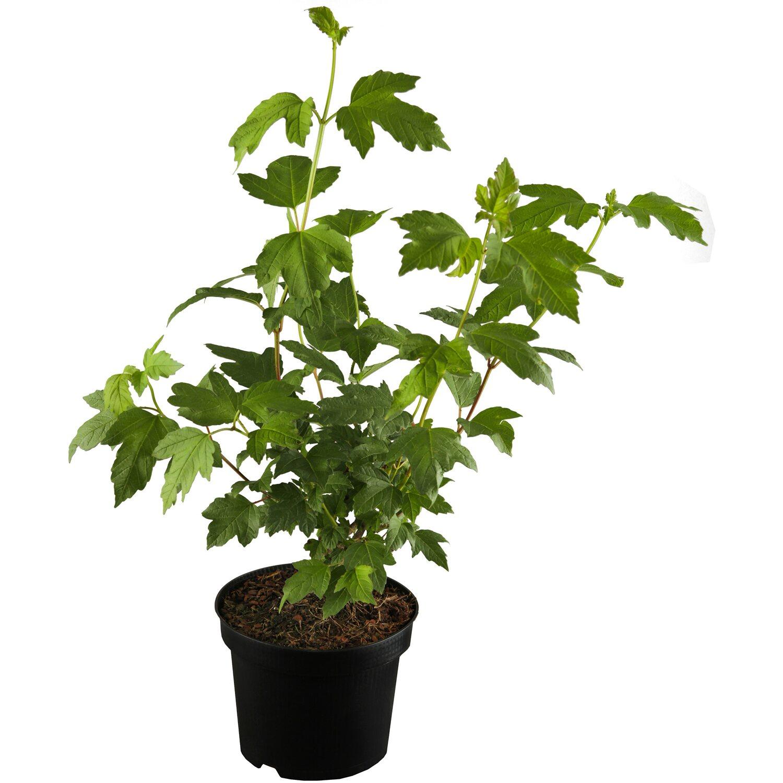 gef llter schneeball roseum wei h he ca 60 80 cm topf ca 5 l viburnum kaufen bei obi. Black Bedroom Furniture Sets. Home Design Ideas