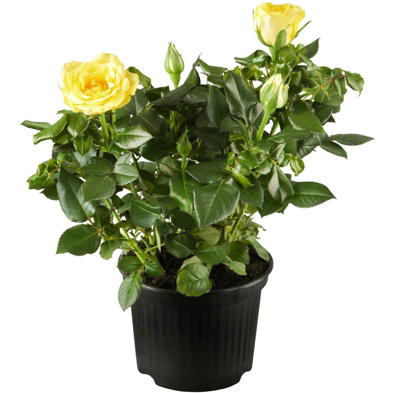 beetrosen gelb h he ca 10 20 cm topf ca 3 l rosa. Black Bedroom Furniture Sets. Home Design Ideas