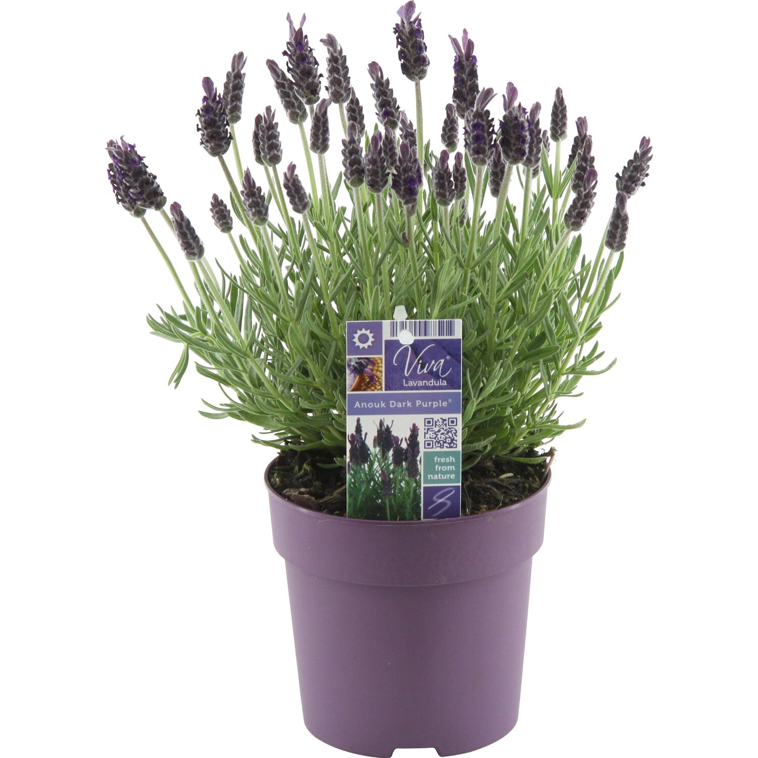 lavendel anouk topf ca 12 cm lavandula stoechas. Black Bedroom Furniture Sets. Home Design Ideas