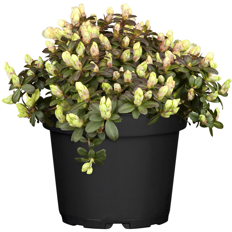 Zwergalpenrose Wren Gelb Höhe ca. 5 - 10 cm Topf ca. 2 l Rhododendron