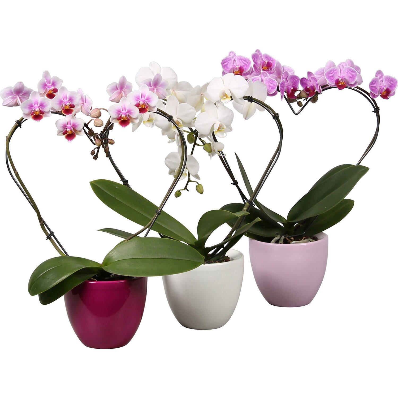 orchideen online kaufen bei obi. Black Bedroom Furniture Sets. Home Design Ideas