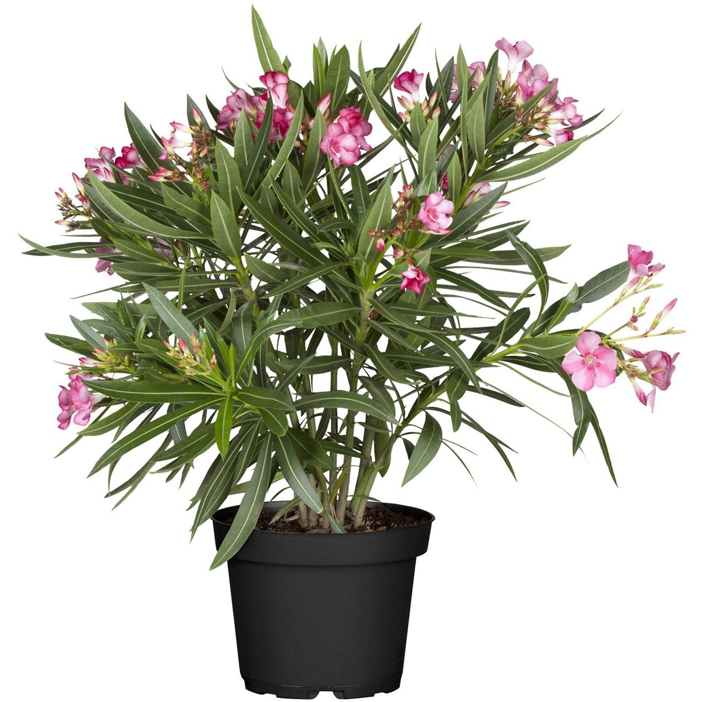 obi oleander rosa topf ca 20 cm nerium kaufen bei obi. Black Bedroom Furniture Sets. Home Design Ideas