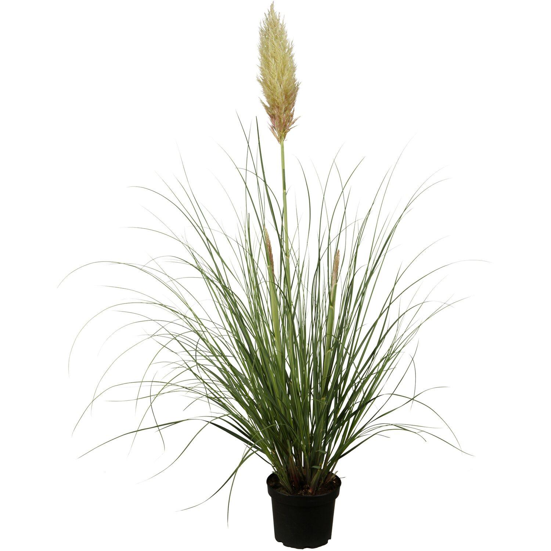 beet mit pampasgras, pampasgras topf-Ø ca. 23 cm cortaderia kaufen bei obi, Design ideen