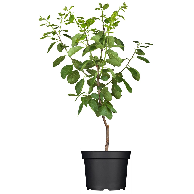 OBI Reneklode Graf Althans Grüngelb Höhe ca. 50 - 60 cm Topf ca. 7 l Prunus
