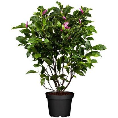 magnolie susan rosarot h he ca 80 100 cm topf ca 10 l magnolia kaufen bei obi. Black Bedroom Furniture Sets. Home Design Ideas