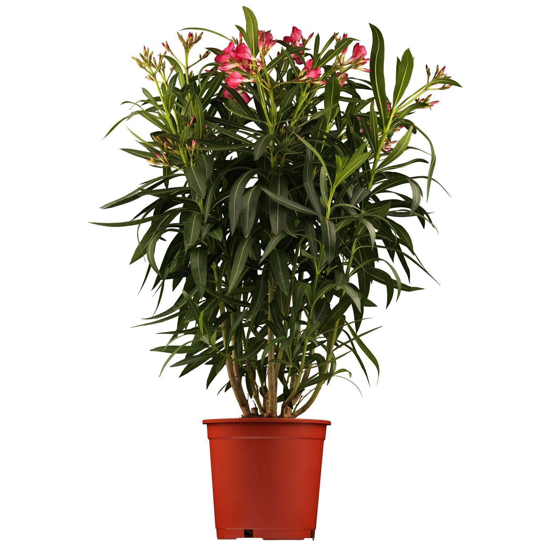 Oleander Standort Garten: Balkonpflanzen & Terrassenpflanzen Online Kaufen Bei OBI