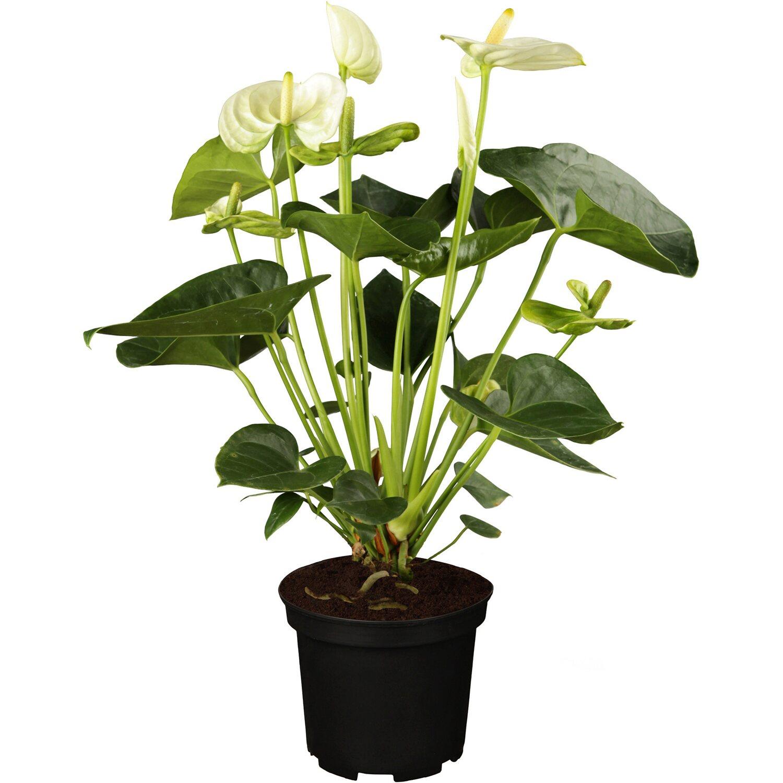 anthurie wei topf ca 17 cm anthurium andreanum kaufen bei obi. Black Bedroom Furniture Sets. Home Design Ideas