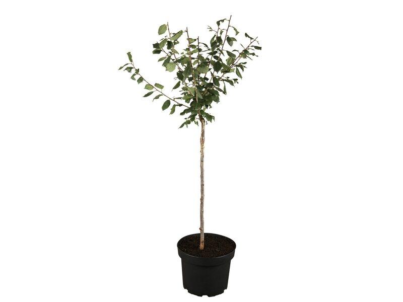 obstbäume online kaufen bei obi, Hause ideen